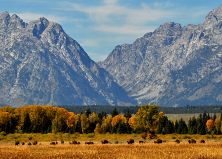 Wild herd of Bison beneath the snow-capped Teton Mounains  Stock Photo