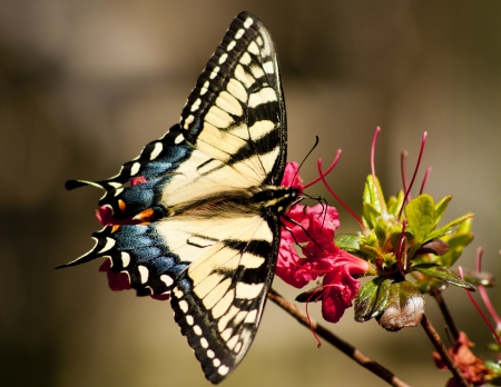 Pale Swallowtail perches on a single Azalea  photo