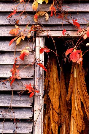 tabaco: Ventana de un viejo granero con el tabaco colgado en el granero