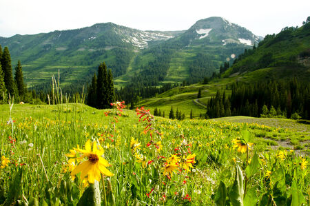 blanketed: A valley of Alpine Sunflowers bloom beneath snow capped mountains  Stock Photo