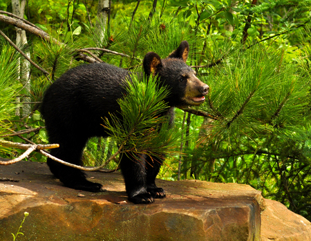 treed: A Black Bear cub stands on a large rock