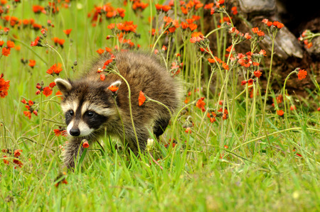 Baby Raccoon with orange Hawkweed Flowers Stock Photo