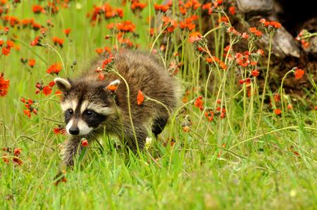 hawkweed: Baby Raccoon with orange Hawkweed Flowers Stock Photo