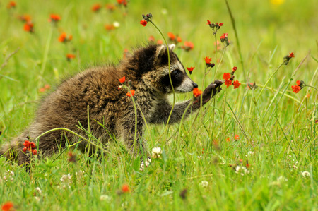 Baby Raccoon playing with orange Hawkweed