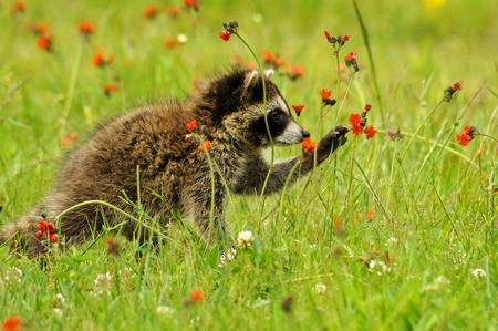hawkweed: Baby Raccoon playing with orange Hawkweed