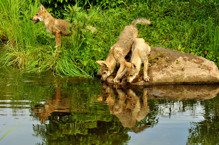 Wolf pups play near the water