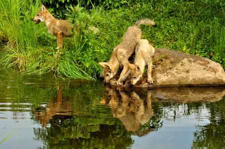 Wolf pups play near the water Reklamní fotografie - 25926264