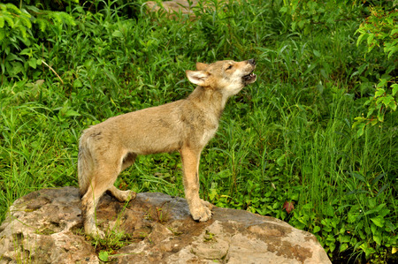 A wolf pup stands at attention howling  photo