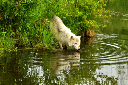 A Artic Wolf drinks from a pond  photo