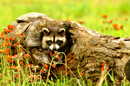 Baby Raccoon climbing in a hole in a log  photo