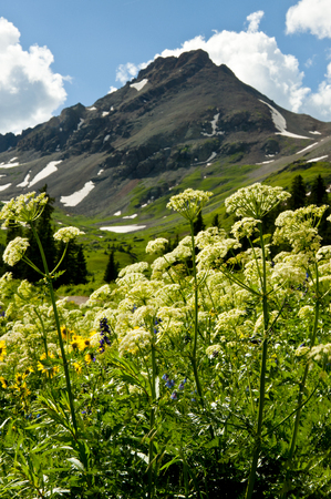 Wildflowers and snow capped mountain in Colorado  photo