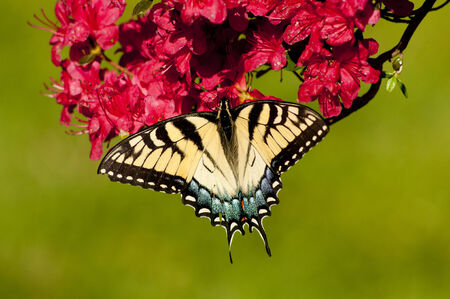 An Eastern Tiger Swallowtail Butterfly feeds on a pink Azalea Bush  photo