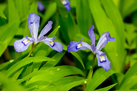 the smokies: Close-up of Crested Dwarf Iris blooming in the spring in the Smokies