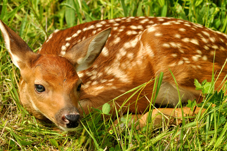 A baby deer lays concealed in grass  photo
