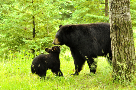 A Black Bear mom plays with her cub