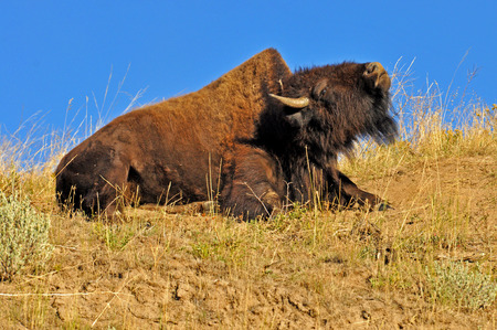 A Bison s hump is noticeable as he stretches his neck  photo