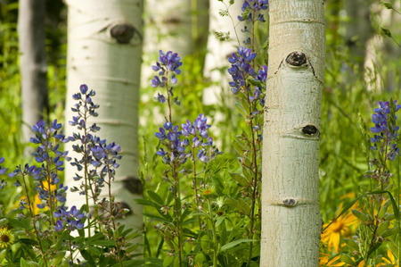 ouray: Lupine and Sunflowers in bloom in Colorado  Stock Photo