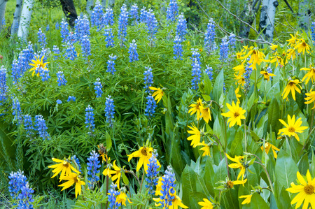 ouray: Wildflowers of the Colorado mountains in bloom