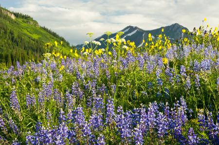 Colorado Rocky Mountain High wildflowers  photo