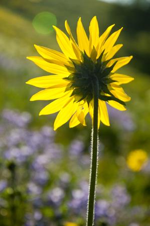 Backlit Sunflower amid wildflowers  photo