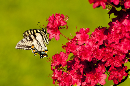 swallowtails: Eastern Tiger Swallowtail perched on pink Azalea blooms  Stock Photo