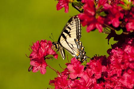 swallowtails: Eastern Tiger Swallowtail perched on pink Azalea