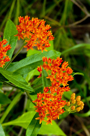 Beautiful orange Butterfly Weed in bloom