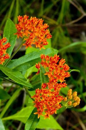 Beautiful orange Butterfly Weed in bloom Reklamní fotografie - 28030435