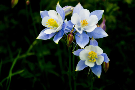 Three beautiful Blue Columbine in bloom