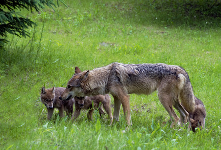 A gray mother wolf with her pups  photo
