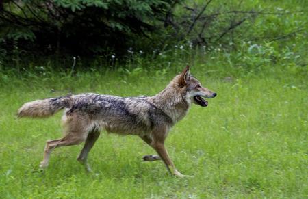 A lone gray wolf runs through a meadow  photo