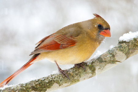 female cardinal: Female Cardinal sitting on a branch in the snow.