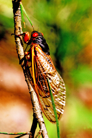 Cicada with red eyes sitting on a branch.