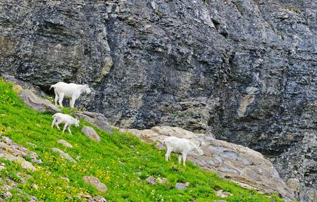 mountain goats: Famiglia di White Mountain Goats in Glacier. Archivio Fotografico