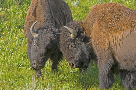 snort: Two male Bison play at fighting. Stock Photo