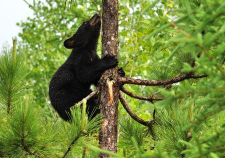 Black Bear Cub climbing a tree. photo