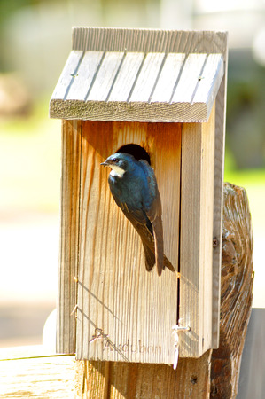 Swallow checking on her nest. photo