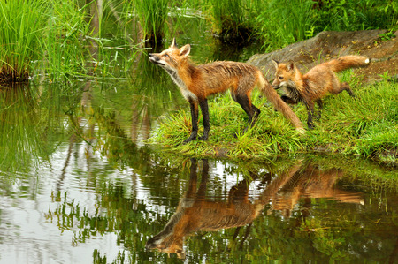 Two Red Fox and water reflections.