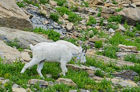 Mountain Goat in Glacier National Park. photo