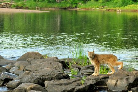 Scenic Lynx posing as a portrait. photo