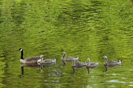 Green water reflections around Canada Geese family. photo