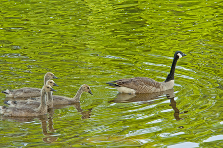 Canada Goose mother swimming with her young. photo