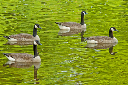 Four Canada Geese swim in formation. photo