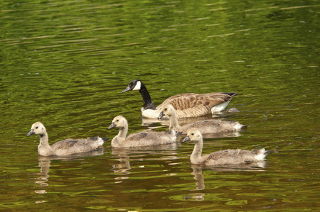 Family of Canada Geese swimming in river. photo