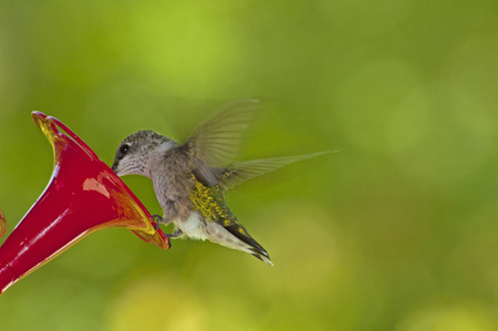 ruby throated: Ruby Throated Hummingbird feeds from a feeder.