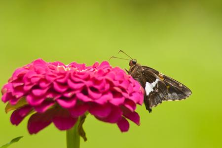 Spotted Skipper Moth feeding on a Zinnia bloom. Reklamní fotografie
