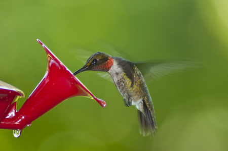 ruby throated: Male Ruby Throated Hummingbird feeds from a feeder.