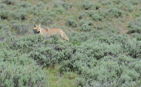 In Yellowstone, coyote strolling the fields on the hunt. photo