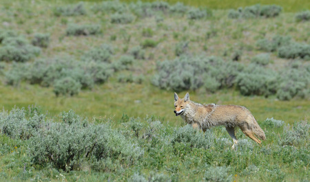 In Yellowstone, coyote on the hunt. photo