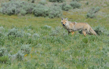 In Yellowstone, coyote on the prowl. photo